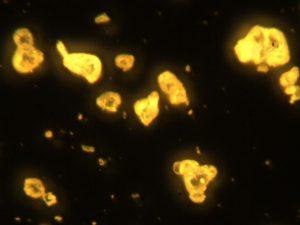 Микрофотография готового электролюминофора ZnS:Cu,Mn (1,2%)