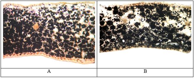 Поперечный срез запасающей чешуи G. woronowii (А) и G. nivalis (В)