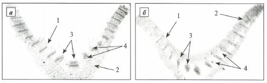 Поперечный срез листа подснежников Воронова (а) и белоснежного (б)