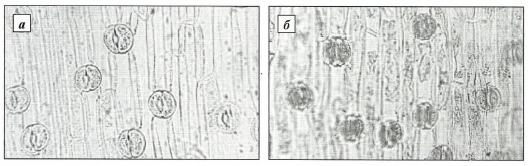 Нижний эпидермис листа подснежников Воронова (а) и белоснежного (б)