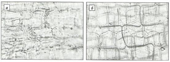 Эпидермис наружной чешуи с внешней стороны подснежника Воронова (а) и подснежника белоснежного (б)