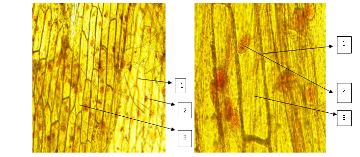 Рисунок 5. Микрофотография клеток кожицы белого лука (слева) и розового лука (справа). 1 - оболочка клетки, 2 - ядро, 3 - цитоплазма.