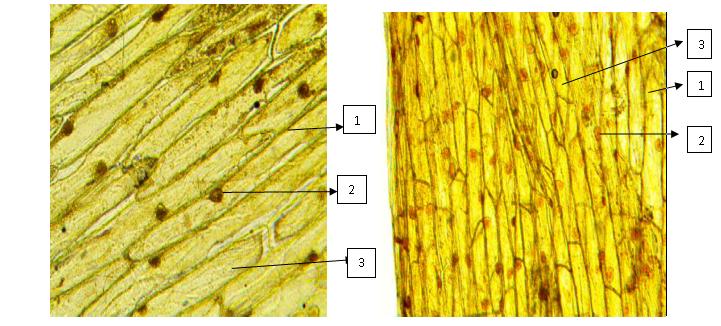 Рисунок 2. Микрофотография клеток кожицы белого лука (слева) и розового лука (справа). 1 - оболочка клетки, 2 - ядро, 3 - цитоплазма.