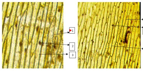 Сравнение кожицы лука разных сортов с помощью программы Altami Studio и микроскопа Альтами «Школьный»