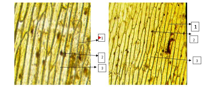 Рисунок 1. Микрофотография клеток кожицы белого лука (слева) и розового лука (справа). 1 - оболочка клетки, 2- ядро, 3 - цитоплазма