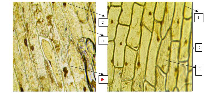 Рисунок 4. Микрофотография клеток кожицы белого лука (слева) и розового лука (справа). 1 - оболочка клетки, 2 - ядро, 3 - цитоплазма.